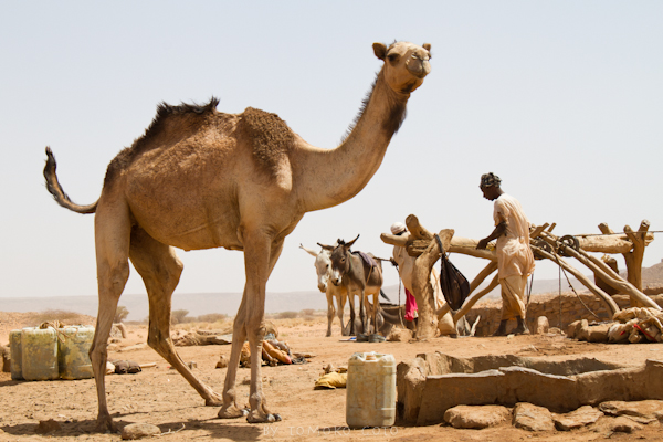 Animals come to drink at the well —and the sheep men keep pushing the camel away...