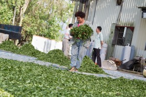Freshly picked leaves are spread in the sun to oxidize