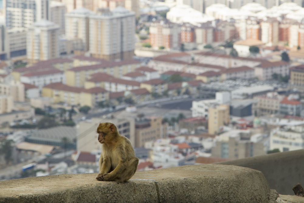 The apes of Gibraltar control the top of the Rock...