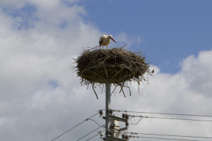 Stork nests are a common site in the Lithuanian countryside - but don't get too close! That's where babies come from!