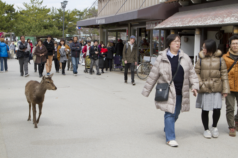 Wild temple deer wander the town...